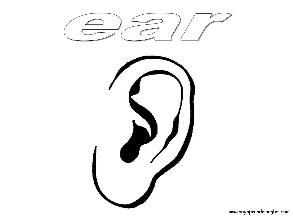 Ear Dibujos Cuerpo Humano Para Colorear En Inglés